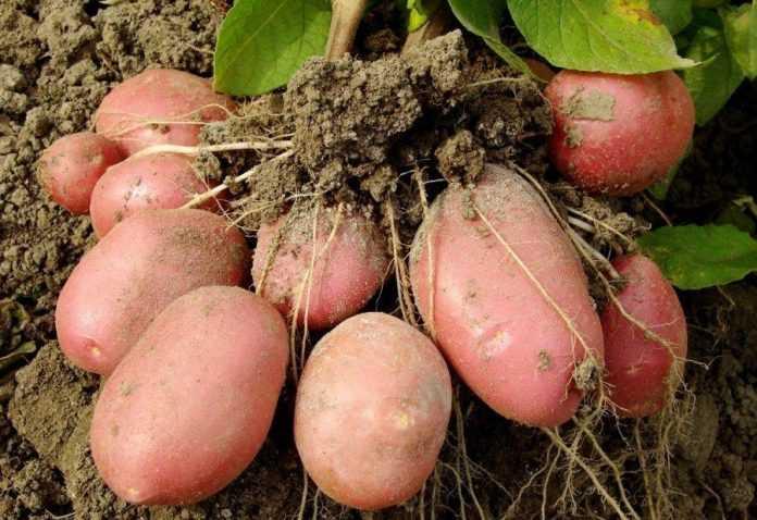 Українські селекціонери вивели суперурожайний сорт картоплі
