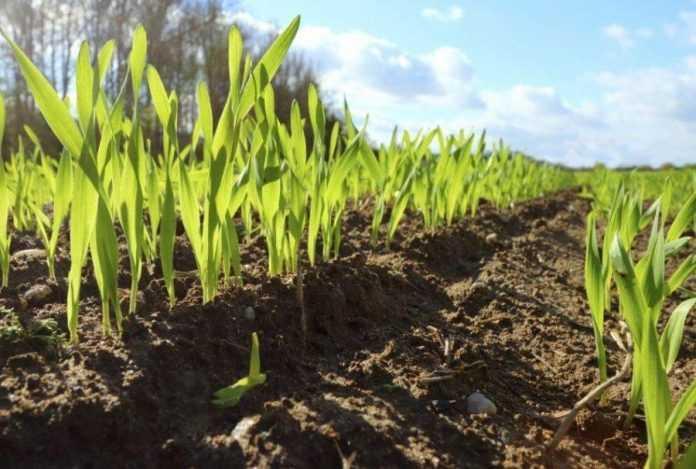 Весняний агроприйом проти випадання рослин озимої пшениці - досвід