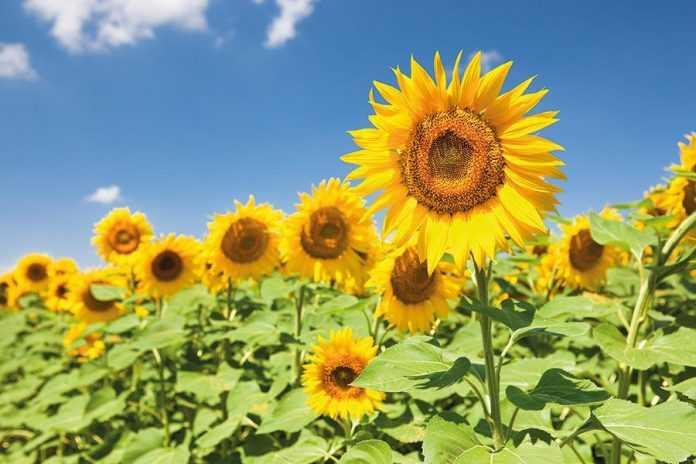 Як обрати найкращий гібрид соняшнику для посушливих умов