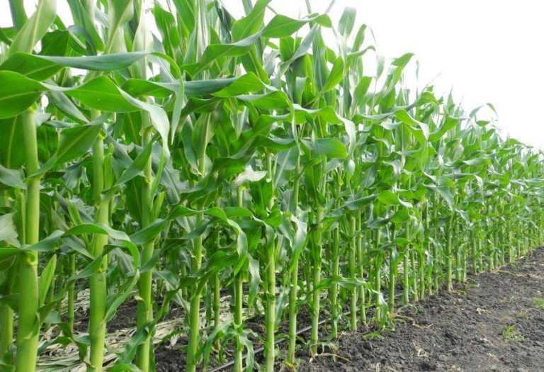 Як визначити оптимальну дозу азоту для кукурудзи