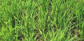 Як визначити стільки азоту потребують посіви озимих навесні