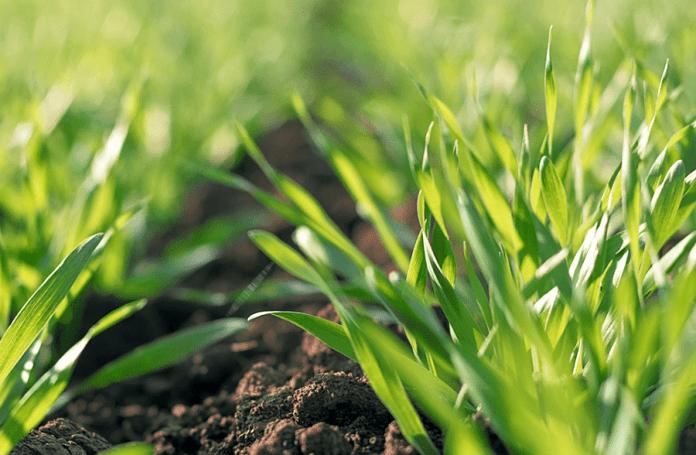 Які хвороби загрожуватимуть посівам озимих зернових цією весною