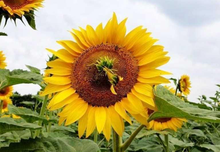 Основні причини появи філодій на соняшнику