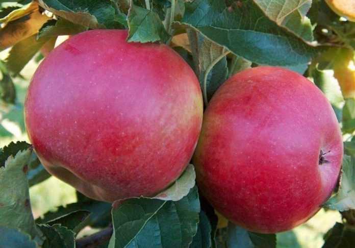 Селекціонери вивели унікальний сорт яблука майбутнього