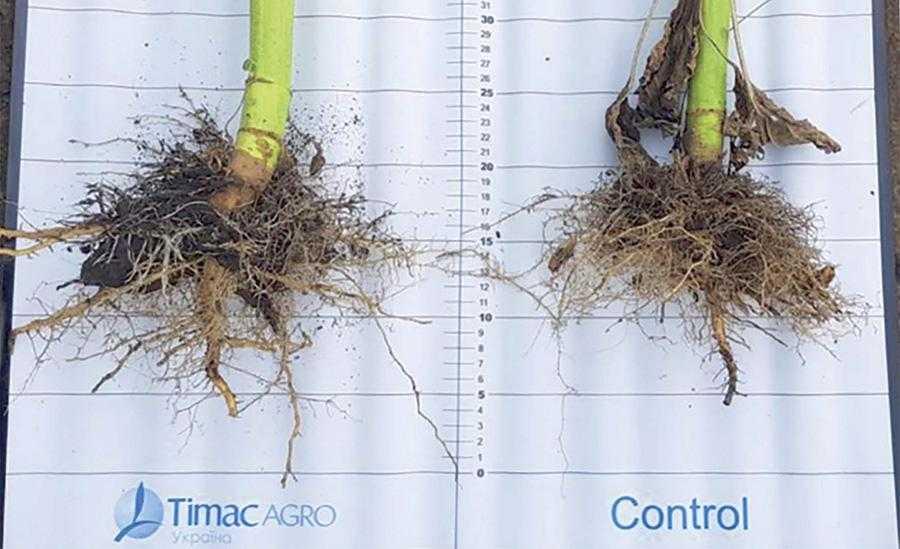 Ефективність розвитку кореневої системи залежно від доступності форм фосфору в добривах