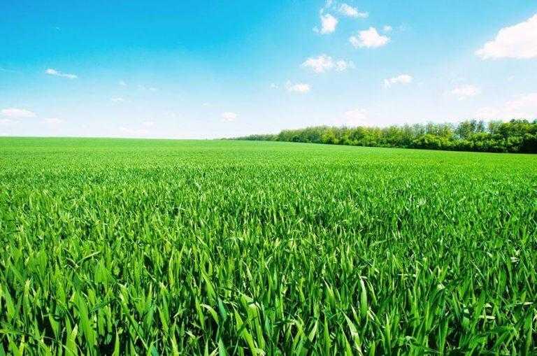 Як проконтролювати злакові бур'яни у посівах пшениці?