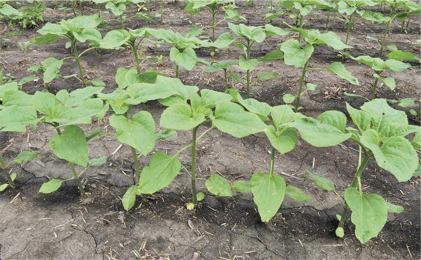 Густоту посіву потрібно встановлювати з урахуванням показників запасів вологи в метровому шарі ґрунту на час сівби. Чим менші запаси вологи, тим меншою повинна бути густота стояння рослин