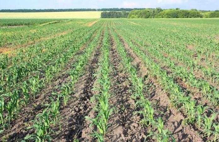 Вибір стратегії контролю бур'янів у посівах кукурудзи