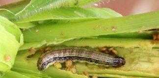Новий метод дозволить виявити кукурудзяну совку прямо у полі