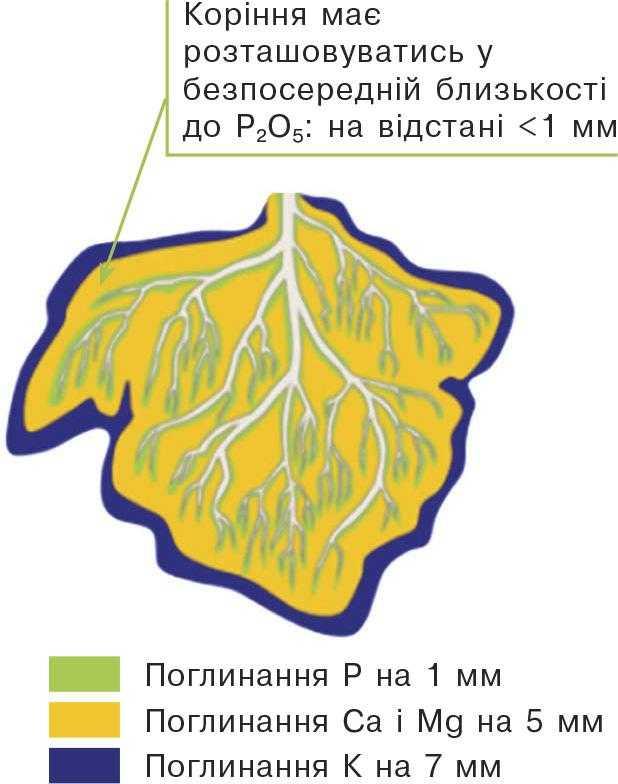 Оптимальна відстань для поглинання елементів живлення кореневою системою