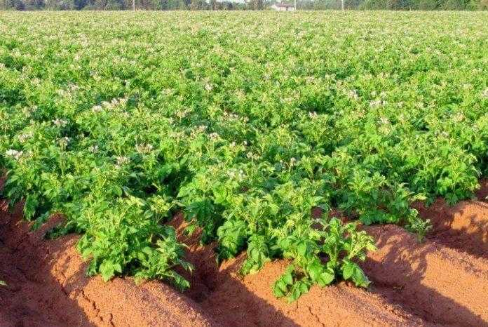 Передпосадкове внесення калію збільшує урожайність картоплі