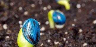Першочерговий захист соняшнику і його важливість