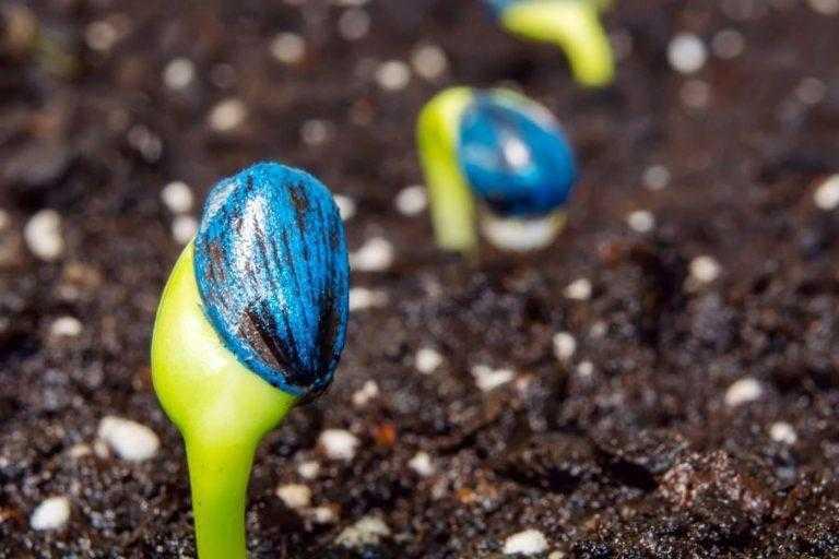 Першочерговий захист соняшника і його важливість