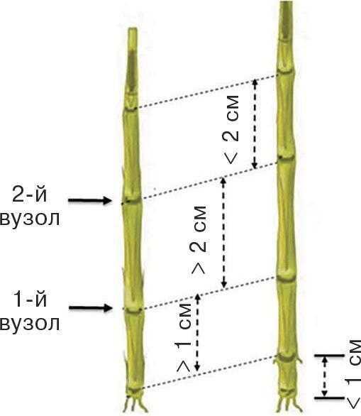 Рис. 4. Фаза 2-го вузла: BBCH 32. Другий вузол озташований на відстані не менше ніж 2 см від першого на провідному пагоні. 2
