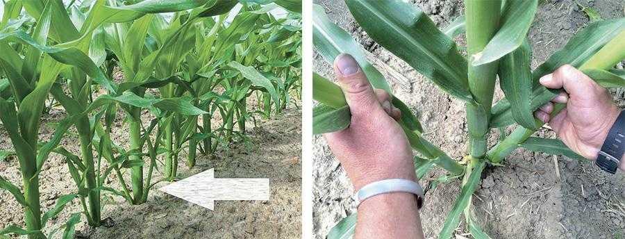 Рис. Кущіння рослин кукурудзи на удобрених у рядок посівах