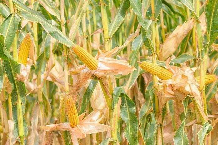 Тонкощі вирощування гібридів кукурудзи Євраліс