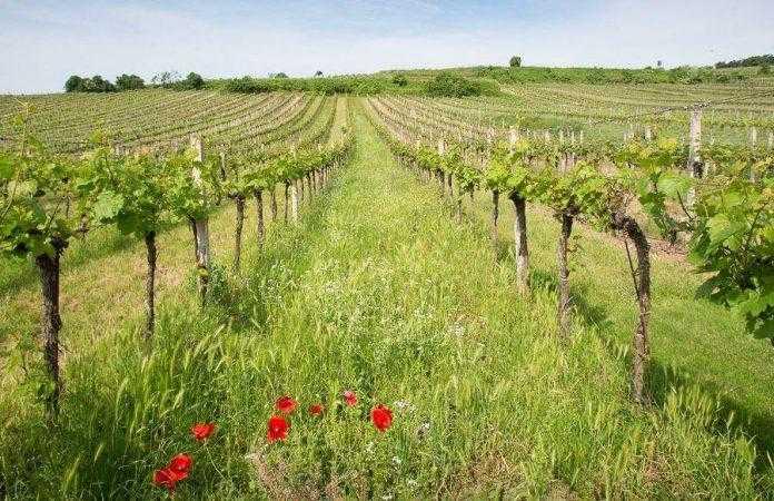 Весняні захисні заходи на виноградниках