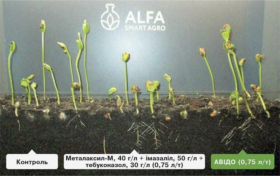 Візуалізація відсутності ретардантного ефекту у Авідо порівняно з протруйником із триазолами (агрономічна лабораторія ALFA Smart Agro)