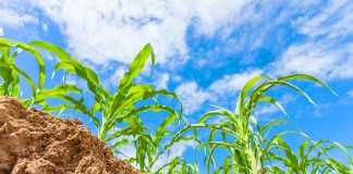 Вплив локального внесення добрив на кущіння кукурудзи