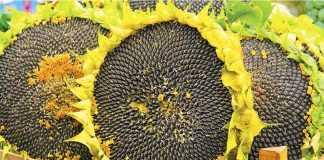 Врожайність соняшнику – 4,3 т/га. Успішний кейс прибуткового насіння