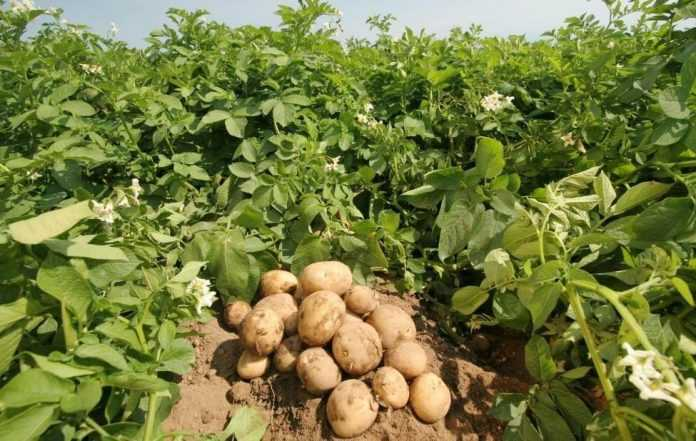 Як зменшити ураження картоплі паршею – дослідження