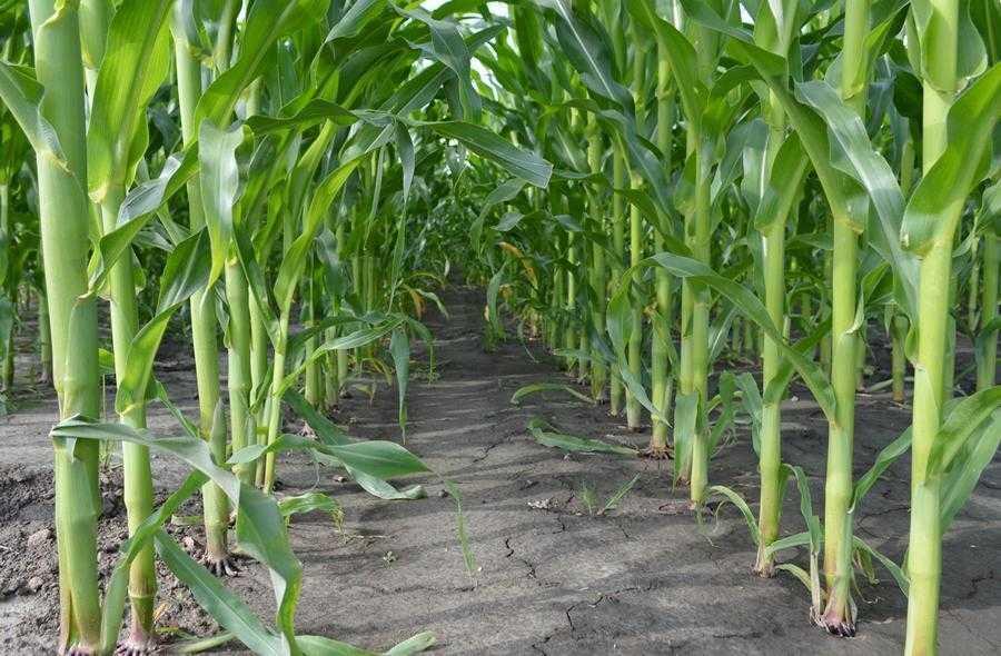 контроль бур'янів в посівах кукурудзи