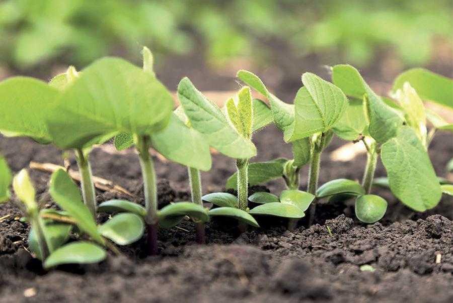Поєднане застосування для інокуляції сої кількох високоефективних штамів ризобій сприяє не лише підвищенню врожайності культури, а й формуванню стабільної активної популяції специфічних мікроорганізмів в грунті