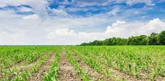 Ефективність гербіцидів у системі захисту кукурудзи від бур'янів