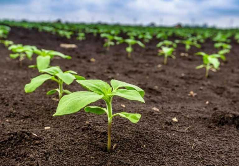 Гербіцидні рішення для окремих виробничих систем вирощування соняшника