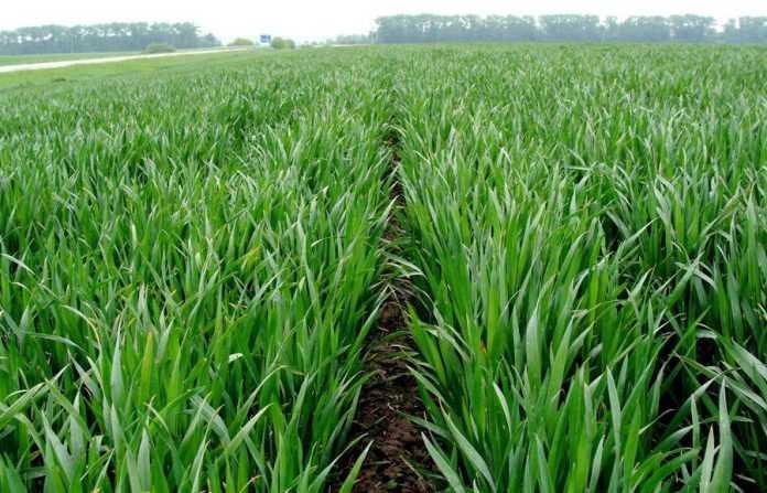 На сьогодні в Україні є всі передумови для високого урожаю зернових