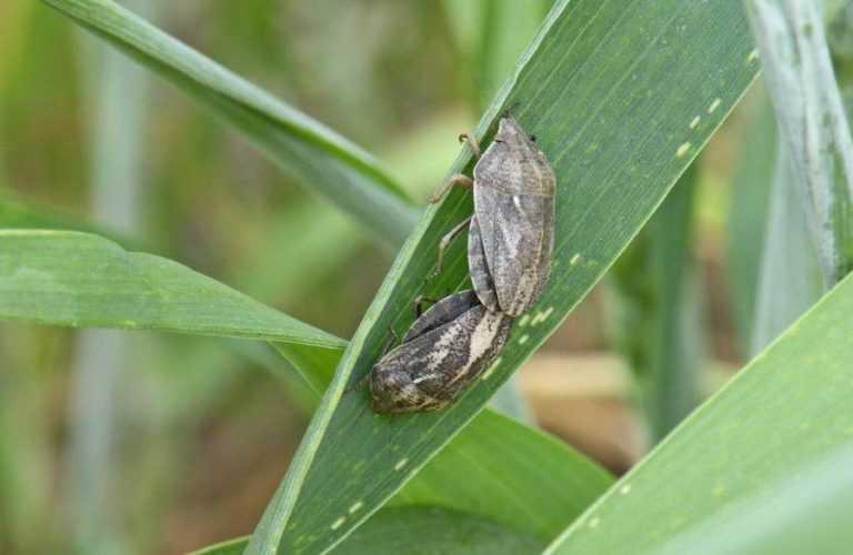 Особливості захисту озимої пшениці від клопа шкідливої черепашки