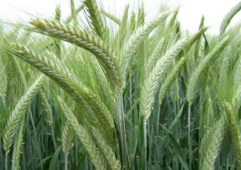 Особливості живлення озимого жита для високої урожайності