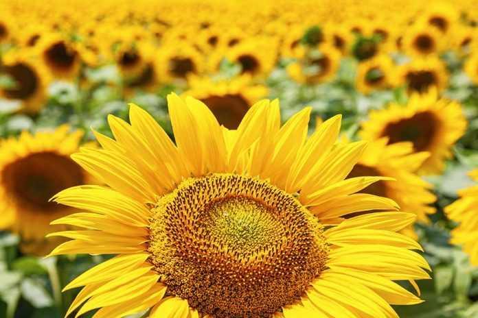 Правильно обраний гібрид соняшнику збільшує шанси на врожайність
