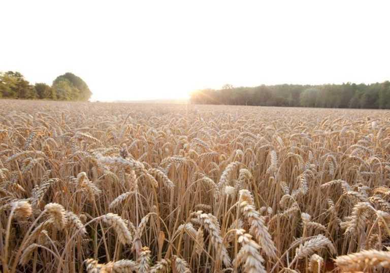«РАЖТ» та «Байєр» підписують угоду про розробку гібридів пшениці