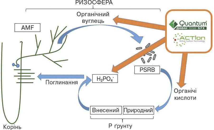 Рис.1. Вплив добрив Квантум Діафан та технології ACTion на ризосферні процеси