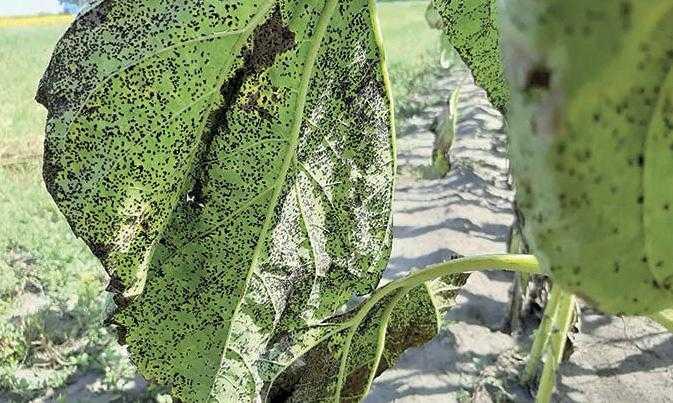 Рис. 2. Ураження іржею після цвітіння, пізні посіви уражуються сильніше