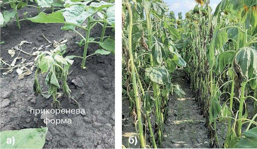 Рис. 3. Ураження рослин білою гниллю. а) на ранніх етапах та б) під час цвітіння