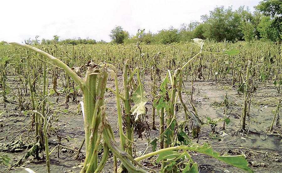 Рис. 4. Повне знищення посівів соняшнику сильним градом. В результаті на цьому полі урожай так і не сформувався