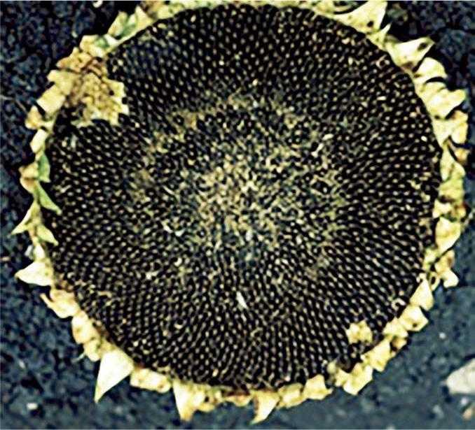 Рис. 6. Пошкодження заморозками – серединні квітки в центральній частині кошика загинули