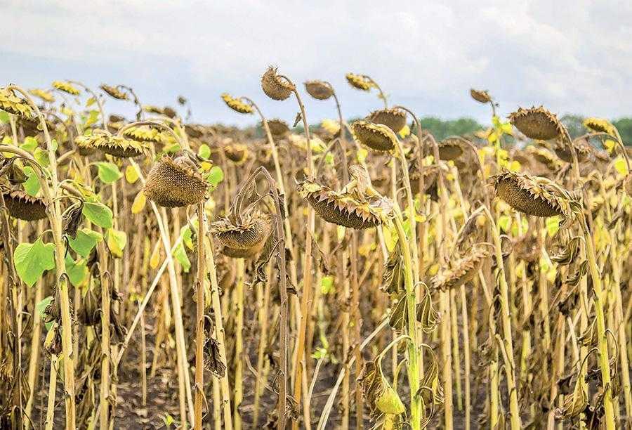 В Україні соняшник у структурі попередників займає 30-50%, в той час як на весь Європейський Союз ним засівають лише 4 млн. га. Не варто забувати, що це культура, яка забирає вологу з 3-метрового шару ґрунту