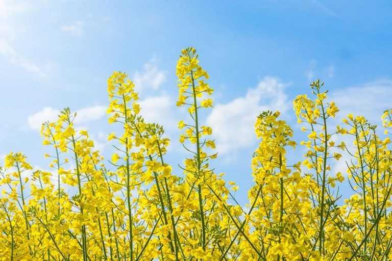 Вирощування ріпаку на кислих ґрунтах. Роль удобрення та вапнування