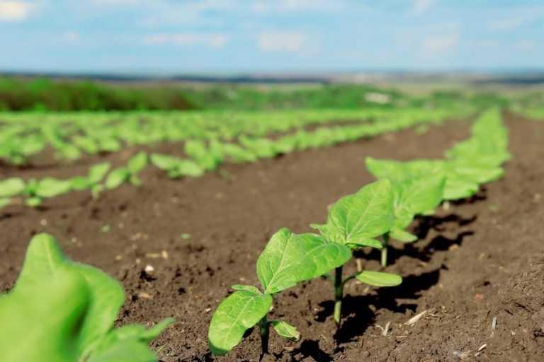 Важливість ґрунтових гербіцидів у захисті соняшника