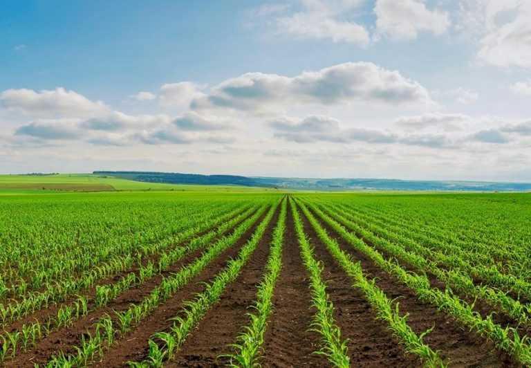 Важливість ґрунтових гербіцидів у захисті кукурудзи