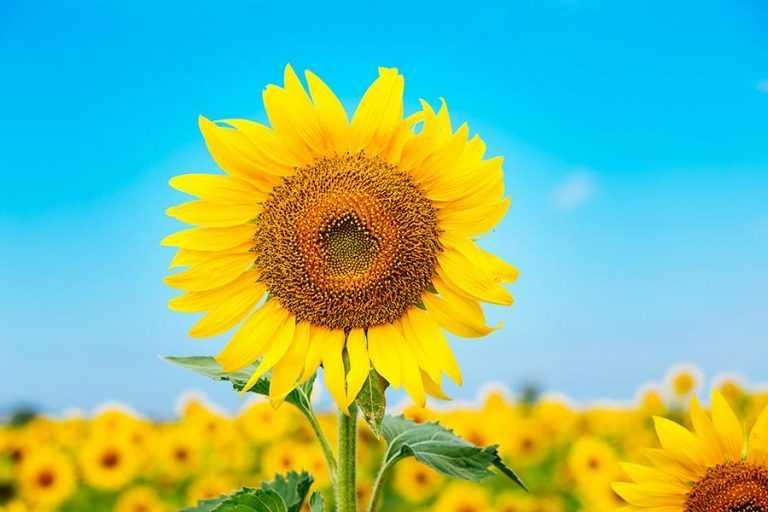 Амістар® Голд – надійний захист для соняшнику і не тільки