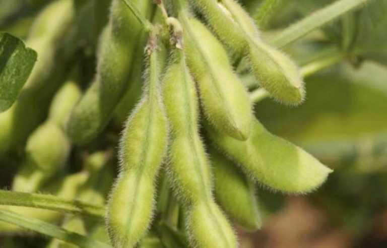 Як отримати максимальну врожайність сої