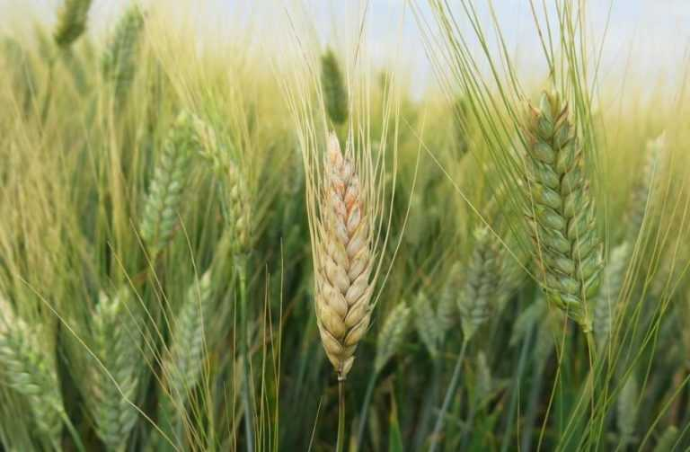 Як попередити хвороби колоса озимих зернових – досвід