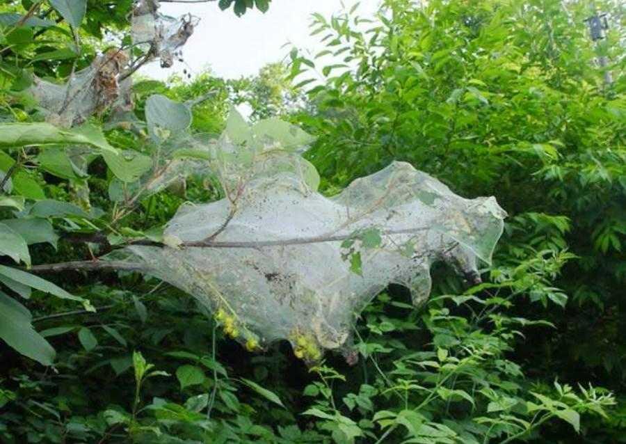 Гнізда, утворені личинками американського білого метелика