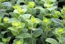 Біопестициди з м'яти зможуть захистити сільгоспкультури від шкідників