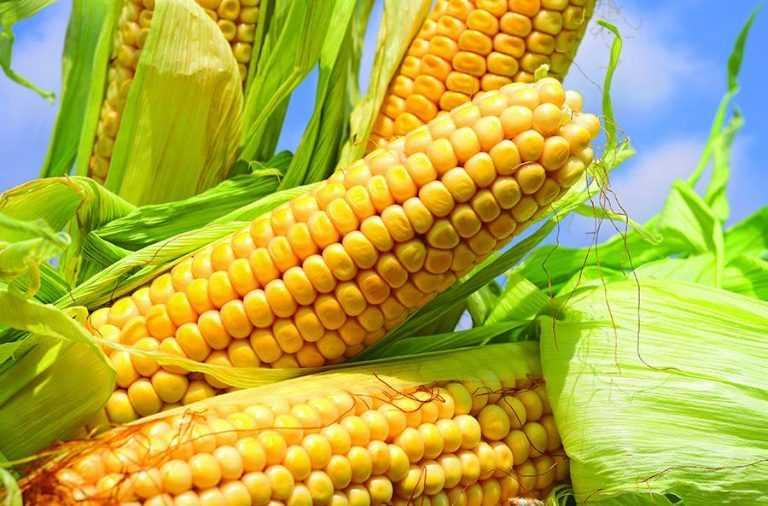 Фултайм – кукурудзі особлива увага з повною віддачею