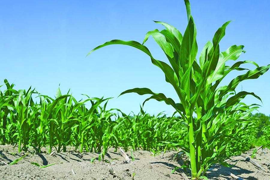 Фултайм – кукурудзі особлива увага з повною віддачею2